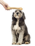 Crossbreed, 4 years old Stock Images