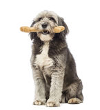 Crossbreed, 4 years old, sitting and holding a bone its a mouth Stock Image