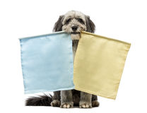 Crossbreed, 4 years old, sitting and holding two flags, yellow and blue, in its mouth Royalty Free Stock Photo