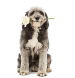 Crossbreed, 4 years old, sitting and holding a white rose in its mouth Royalty Free Stock Images