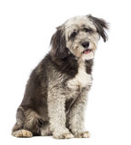 Crossbreed, 4 years old, sitting and looking at the camera Stock Photography