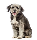 Crossbreed, 4 years old, sitting, panting and looking at the camera Stock Images