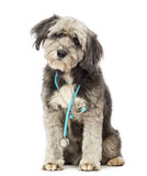Crossbreed, 4 years old, sitting and wearing a blue stethoscope around the neck Stock Photos