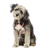 Crossbreed, 4 years old, sitting and wearing a pink stethoscope around the neck Stock Photos