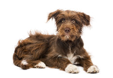 Crossbreed, 5 months old, lying Stock Photos