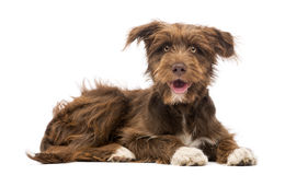 Crossbreed, 5 months old, lying and looking at camera Royalty Free Stock Photo