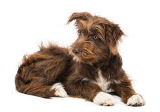 Crossbreed, 5 months old, lying and looking left Royalty Free Stock Image