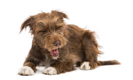 Crossbreed, 5 months old, lying and yawning, disgusted Royalty Free Stock Image