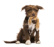 Crossbreed, 5 months old, sitting and holding a stuffed toy Royalty Free Stock Photo