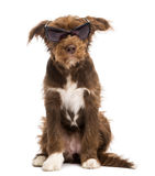 Crossbreed, 5 months old, sitting and wearing sunglasses Stock Photography