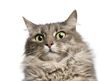 Crossbreed angora cat Stock Photography