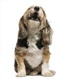 Crossbreed barking Royalty Free Stock Photo