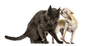 Crossbreed cat and chihuahua playing together Royalty Free Stock Photography
