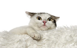 Crossbreed cat leaning on white carpet (1,5 year old) Royalty Free Stock Photos