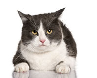 Crossbreed cat, sitting and looking up Royalty Free Stock Photo