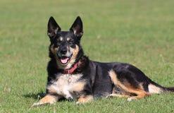 Crossbreed dog Stock Image