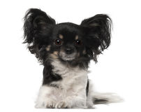 Crossbreed dog Royalty Free Stock Image