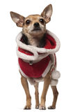 Crossbreed dog, 4 years old Stock Photography