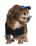Crossbreed dog in clothes and glasses standing Royalty Free Stock Image