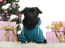 Crossbreed dog dressed and sitting in front of Christmas decorations Stock Photo