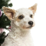 Crossbreed dog in front of Christmas decorations Stock Photos