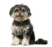 Crossbreed dog in front of a white background. Crossbreed dog (3 years old) in front of a white background Stock Photography