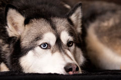 Crossbreed dog between husky and malamut Stock Photos