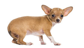 Crossbreed dog Royalty Free Stock Photo
