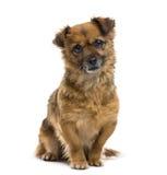 Crossbreed dog Royalty Free Stock Photos