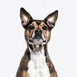 Crossbreed dog isolated on white Stock Photography