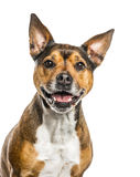 Crossbreed dog isolated on white Royalty Free Stock Photography