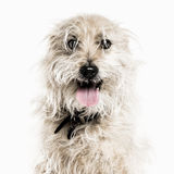 Crossbreed dog isolated on white Royalty Free Stock Images