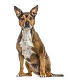 Crossbreed dog isolated on white Stock Photo
