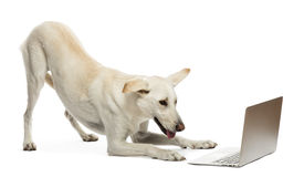 Crossbreed dog looking at laptop Royalty Free Stock Photography