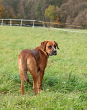 Crossbreed dog on meadow Stock Photo