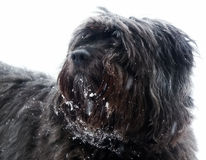 Crossbreed Dog Portrait. Portrait of a crossbreed dog on white Royalty Free Stock Photos