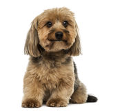 Crossbreed dog sitting, 5 years old Royalty Free Stock Image