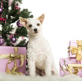 Crossbreed dog sitting in front of Christmas decorations Royalty Free Stock Photography