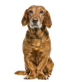 Crossbreed dog sitting royalty free stock images