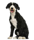 Crossbreed dog sitting, panting, 2 years old Stock Photos