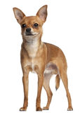Crossbreed dog standing in front of white Royalty Free Stock Photo