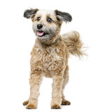 Crossbreed dog standing Royalty Free Stock Photo