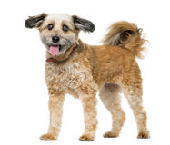 Crossbreed dog standing Royalty Free Stock Images