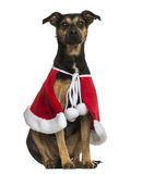 Crossbreed dog wearing a christmas cape, sitting, isolated stock images