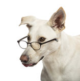 Crossbreed dog wearing glasses Royalty Free Stock Photos