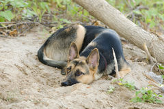 Crossbreed dog yard and a German shepherd, lies on the sand Royalty Free Stock Photo
