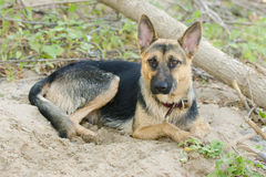 Crossbreed dog yard and a German shepherd, lies on the sand Royalty Free Stock Image