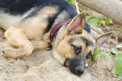 Crossbreed dog yard and a German Shepherd, with sad eyes lays on the sand Royalty Free Stock Photo
