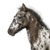 Crossbreed Foal. Between a Appaloosa and a Friesian horse, 3 months old, standing in front of white background stock photos