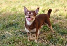 Crossbreed funny chihuahua. Dog outside Stock Photos